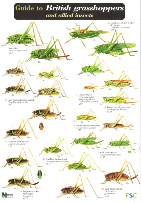 A Guide To British Grhoppers And Allied Insects Identification Chart By Marshall J
