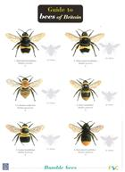 Guide to Bees of Britain (Identification Chart)