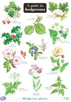 A Guide to hedgerows (Identification Chart)