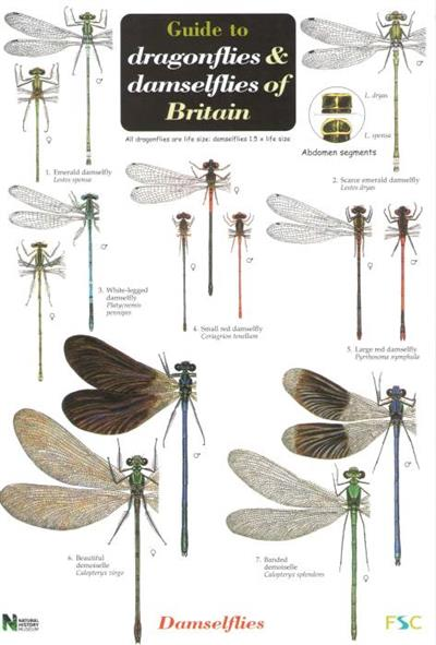 A Guide To The Dragonflies And Damselflies Of Britain Identification Chart