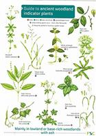 Guide to Ancient Woodland indicator Plants (Identification Chart)
