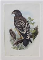 Aquila naevia Birds of Great Britain. Vol. 1